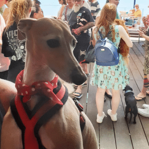 Bart the italian greyhound at event calm and relaxed with stillness & calm spray