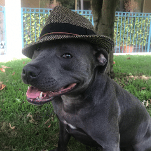 blue staffordshire terrior wearing hat under a tree relaxed stillness & Calm genki pet