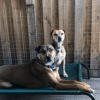 two dogs lying in bed stillness & calm genki pet for anxiety and hyperactivity rescue dogs