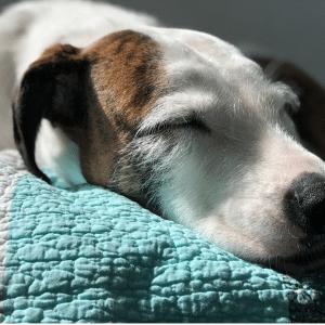 luna dog sleeping on blanket calm relaxed
