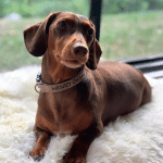 Cute dog Dachshund IVDD surgery crate rest calmly relieving separation anxiety with Stillness & Calm Success with Genki Pet