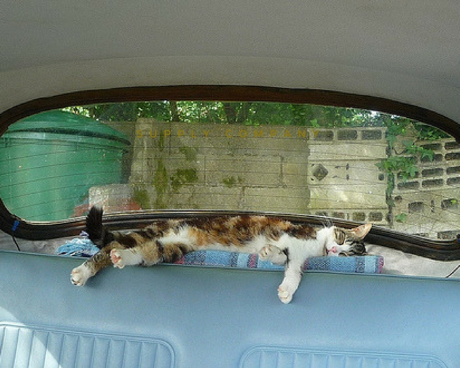Healthier happier pet Cat In asleep in Back Of Car under rear window