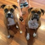 healthier happier pets and their people two boxers calm looking at camera Flanagan Boxers