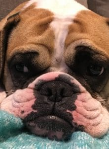 Genki Pet for Healthier Happier pets and thier people testimonial bulldog face