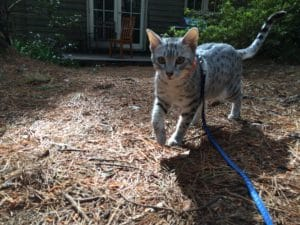 Healthier Happier Pets and their people Grey cat prancing in backyard blue lead