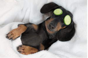 cute dachshund relaxing with cucumber on eyes like dayspa