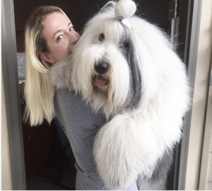 English sheepdog with fringe out of eyes with woman happy and healthy