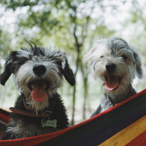 genki pet for healthier happier pets and their people boost your pets health naturally free ebook two schnausers smiling in hammock
