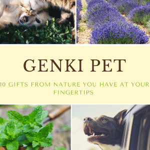 Genki Pet For healthier happier pets and their people boost your pets health naturally free ebook cove spearmint lavender dog smiling out of car window dog and cat close on grass