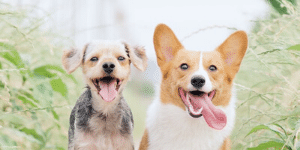two healthy happy dogs running and smiling genki pet