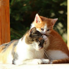 Natural Therapies for Pets 2 Cats Together In Sun On Timber Frame
