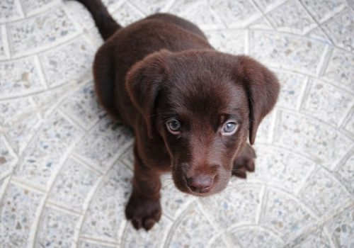 Natural Therapies for Pets cute Chocolate Labrador puppy Looking Up