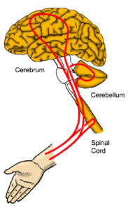 feedback loop between brain and hand kinesiology