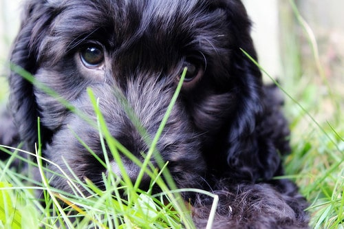 Aromatherapy sprtizes for pets and their people Cute Puppy In Grass