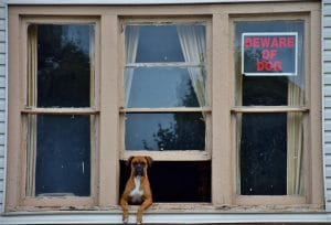 boxer dog home alone out a window