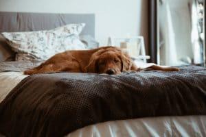 healthier happier dog on bed sleeping