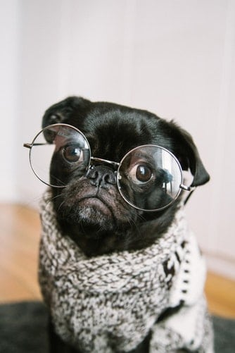 pug in glasses pets and kinesiology