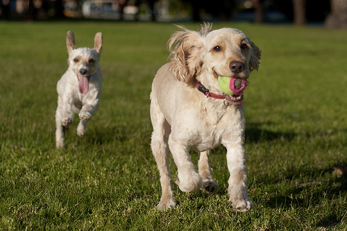 Healthier happier pets Happy Dogs Running Playing Ball in park