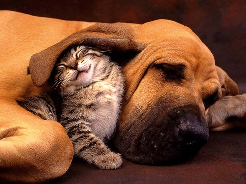 Healthier Happier pets Kitten happilyy under Hound's ear